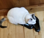 Devil cat guarding Queen Bee's shoes