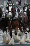 Budweiser Clydesdale on display--gentle giants