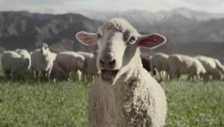 Singing Sheep in Ridgeline Commercial