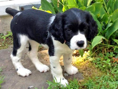 black-english-springer-spaniel-puppies-dakota-the-english-springer-spaniel-puppies-daily-puppy